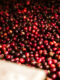 Kaffeeernte Bohnen Rot