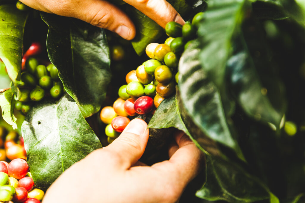 Anbaugebiet Kaffeebohnen